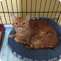 Domestic Shorthair Cat for adoption in Erwin, Tennessee - Maverick
