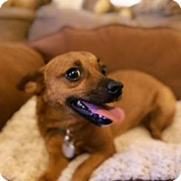 Chihuahua Mix Dog for adoption in Surprise, Arizona - Amy