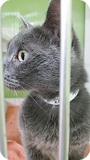 Domestic Shorthair Cat for adoption in Muskegon, Michigan - hefty