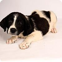 Adopt A Pet :: Lorissa Houndmix - St. Louis, MO