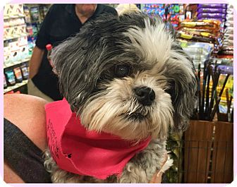 Shih Tzu Mix Dog for adoption in Phoenix, Arizona - Alice