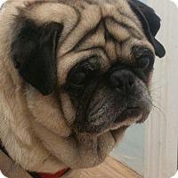 Pug Dog for adoption in Gardena, California - Nygel