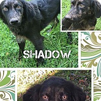 Adopt A Pet :: Shadow - Fort Wayne, IN