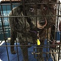 Adopt A Pet :: Charley - Tucson, AZ