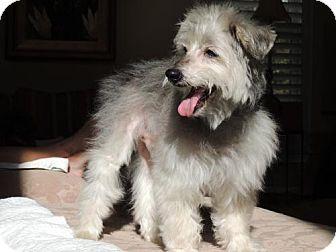 Standard Schnauzer Dog for adoption in Franklin, Tennessee - POPPIE