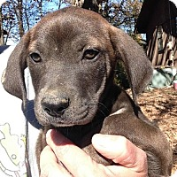 Labrador Retriever Mix Puppy for adoption in Hagerstown, Maryland - Bindi