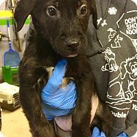 Adopt A Pet :: Birch - WESTMINSTER, MD