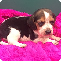 Adopt A Pet :: Beagle pups - Hazard, KY