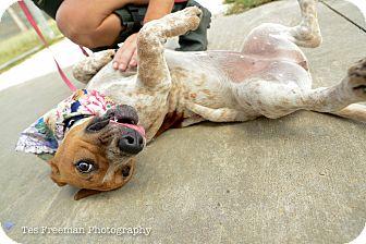 Basset Hound/Pointer Mix Dog for adoption in Muldrow, Oklahoma - Maddie Rosalie