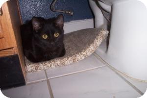 Domestic Shorthair Cat for adoption in Tempe, Arizona - Coal