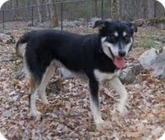 Husky/Shepherd (Unknown Type) Mix Dog for adoption in Marietta, Georgia - Bo