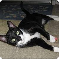 Adopt A Pet :: Socks - High Ridge, MO