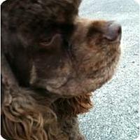Adopt A Pet :: Beau - Tacoma, WA