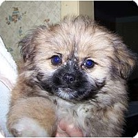 Adopt A Pet :: PomZu ADOPTION PENDING!! - Antioch, IL