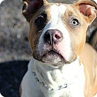 Adopt A Pet :: Issa - Tinton Falls, NJ