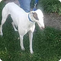 Adopt A Pet :: Bummer - Florence, KY