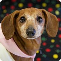 Dachshund Dog for adoption in Bridgewater, New Jersey - Honey Bee