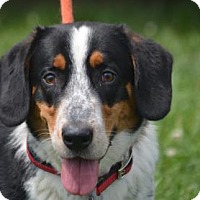 Adopt A Pet :: Shortie - Chester Springs, PA