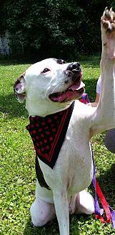 American Bulldog Mix Dog for adoption in Summerville, South Carolina - Gronk