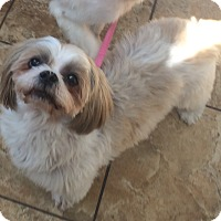 Adopt A Pet :: Missy Shih Tzu - Oak Ridge, NJ