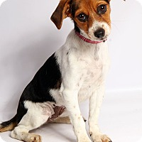 Adopt A Pet :: Niketa Beagle Terrier - St. Louis, MO