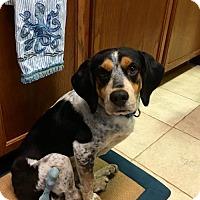 Adopt A Pet :: Banjo IV - Tampa, FL