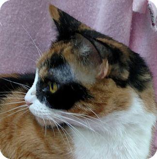 Calico Cat for adoption in Yuba City, California - Callie