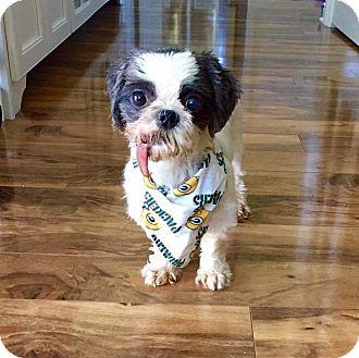 Shih Tzu Dog for adoption in Elgin, Illinois - Friesla
