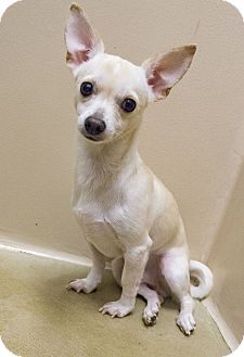 Chihuahua Mix Dog for adoption in Seattle, Washington - Andy