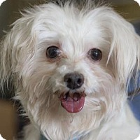 Maltese Dog for adoption in Colorado Springs, Colorado - Rumor