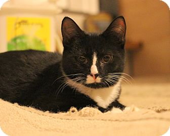 Domestic Shorthair Kitten for adoption in Carlisle, Pennsylvania - Doc