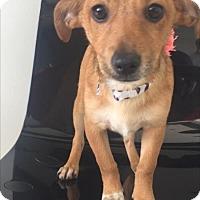 Adopt A Pet :: Fudgie - Weston, FL