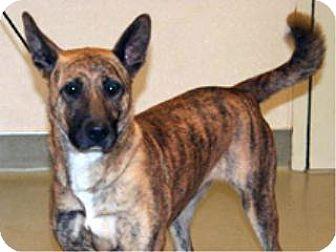 Shepherd (Unknown Type) Mix Dog for adoption in Wildomar, California - Sophie