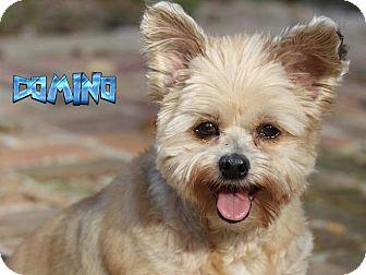 Shih Tzu/Pomeranian Mix Dog for adoption in Nixa, Missouri - Domino #998