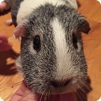 Adopt A Pet :: Boo - Patterson, NY