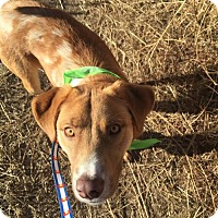 Adopt A Pet :: Connor - Littleton, CO