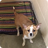 Adopt A Pet :: Brownie - Avon, NY