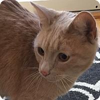 Adopt A Pet :: Simba2 - Plainville, MA