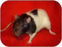 Rat for adoption in Winner, South Dakota - Joe