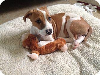 Shar Pei/Labrador Retriever Mix Puppy for adoption in Mira Loma, California - June in Texas