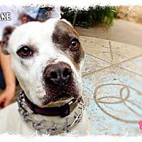 Boxer/Pit Bull Terrier Mix Dog for adoption in Cranston, Rhode Island - Blake