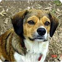Beagle/Terrier (Unknown Type, Small) Mix Dog for adoption in Winnsboro, South Carolina - Precious