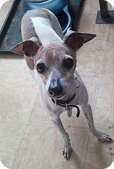 Italian Greyhound Dog for adoption in Centinnial, Colorado - Kozak