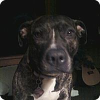 Adopt A Pet :: Darla - Sterling, MA