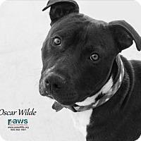 Adopt A Pet :: Oscar Wilde - Belle Chasse, LA