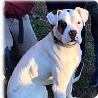 Adopt A Pet :: Caper - Brentwood, TN