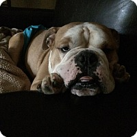 Adopt A Pet :: Divo - Park Ridge, IL