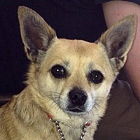 Chihuahua Mix Dog for adoption in Fullerton, California - Gina