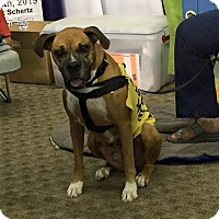 Adopt A Pet :: Storm - Austin, TX