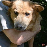Chow Chow Mix Dog for adoption in Bedford, Indiana - Goldie